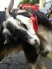 fiesta_san_benito_la_laguna_www.inselteneriffa.com-34
